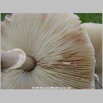 Leucoagaricus_leucothites_02c_t.jpg
