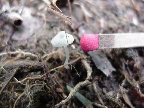 Image - photo of tiny white unidentified gilled mushroom