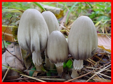 Image - Photo of the poisonous Scaly Inky Cap mushroom (Coprinus variegatus)