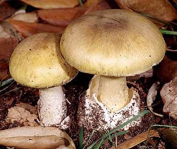 Image - Photo of the deadly poisonous Death Cap mushroom (Amanita phalloides)