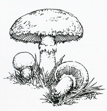 Marie Heerkens' Mushroom Paintings and Drawings