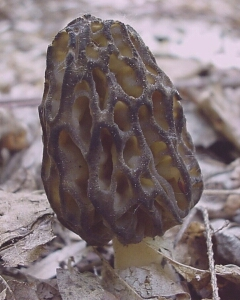 Image - photo of the edible Black Morel (Morchella elata)