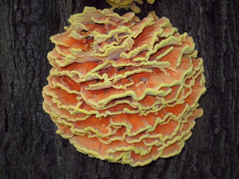 Image - Photo of the Sulphur Shelf or Chicken Mushroom (Laetiporus sulphureus)