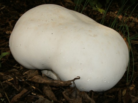 Image - Photo of the edible Giant Puffball (Langermannia gigantea)