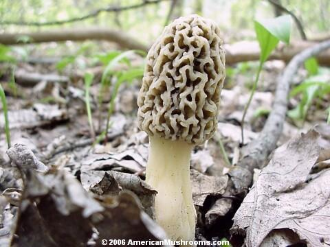 Image - Photo of the edible Yellow Morel (Morchella esculenta)